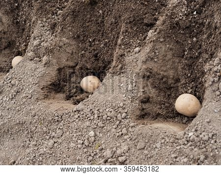Seed Potatoes Lying In Trench In Soil, Planting Potatoes In Spring Garden