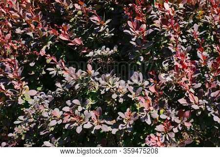 Background Of Barberry Thunberg Leaves In The Garden In Summer
