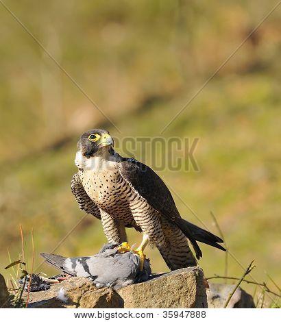 Peregrine Falcon.