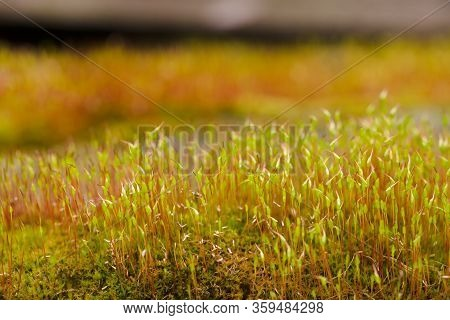 Fresh Green And Yellow Moss With Blurred Background. Close Up View With A Small Depth Of Field Far A