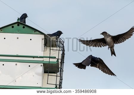 Flying Female Purple Martin Progne Subis Bird Heads Onto A Bird House In Sarasota, Florida.