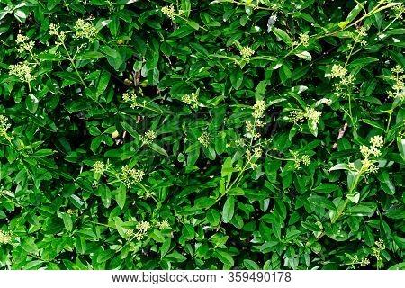 Close Up Of Privet Hedge Branches, Ligustrum Hedge