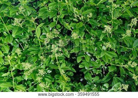 Close Up Of Privet Hedge Branches In Bloom, Ligustrum Hedge