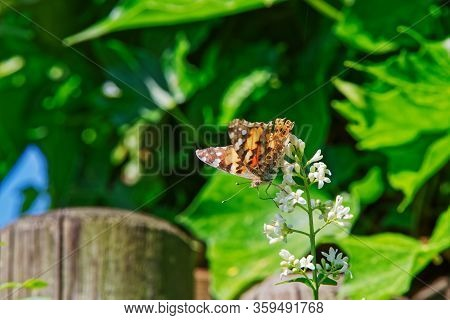 Butterfly Vanessa Cardui Or Known As Painted Lady On The White Flower Of The Privet Plant