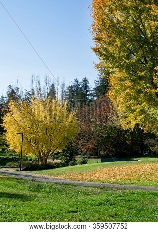 Panoramic View Of The Gingko Trees In The Autumn At The Uc Davis Arboretum, Davis, California, On A