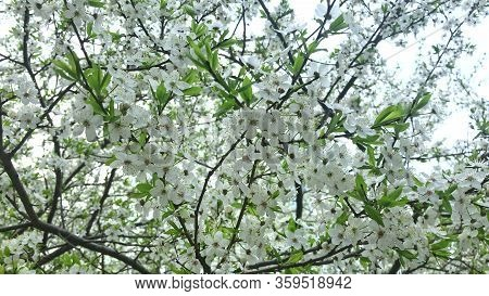 Blooming Cherry Tree In Spring, Many Tender Delicate White Flowers On Braches, Gardens And Parks At