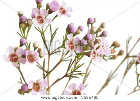 Beautiful Pink Flowers On White