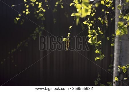 Blooming Earrings On The Branches Of Trees. Tree Earrings On Blurred Brown Background.