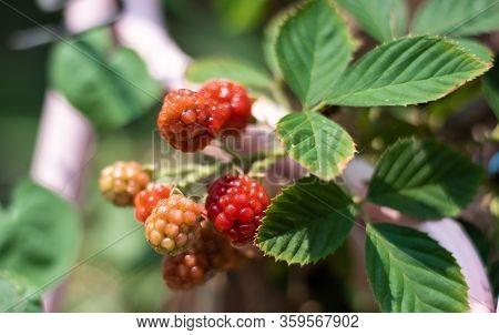 Fresh Red Blackberry Fruits On Blur Background.
