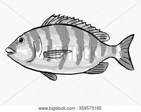Retro Cartoon Style Drawing Of A Sheepshead, A South Carolina Inshore Saltwater Marine Life Fish Spe