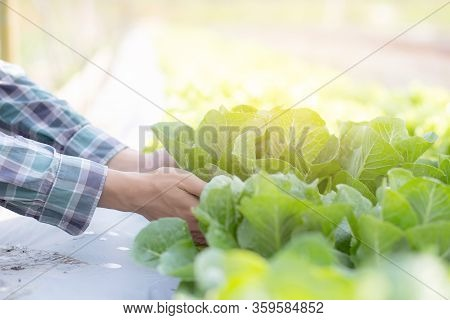 Closeup Hands Young Man Farmer Checking And Holding Fresh Organic Vegetable In Hydroponic Farm, Prod