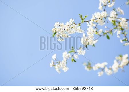 Spring Blossom With Blue Sky An White Flowers On A Beautiful Spring Day. Beautiful Cherry Blossom Sa