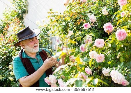 Gardening - Grandfather Gardener In Sunny Garden Planting Roses. Senior Man Gardening In Garden
