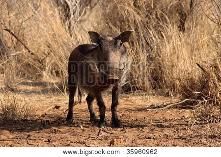 Alert Warthog Male in Clearing Between Bushveld Trees poster