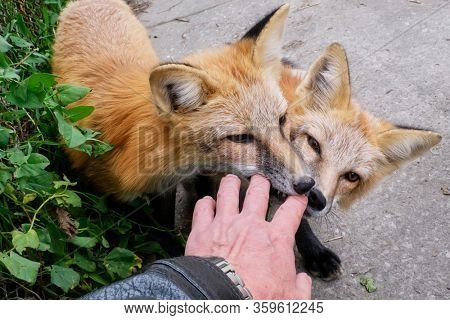 cute tamed foxes playing with man's hand