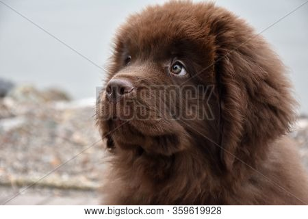 A Look Into The Curious Face Of A Newfie Pup.