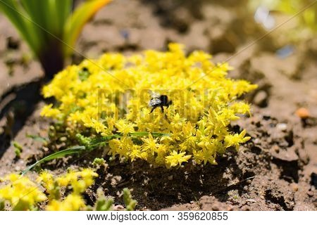 Yellow Sedum Palmeri, Also Called Palmers Stonecrop, Is A Succulent Plant Belonging To The Genus Sed