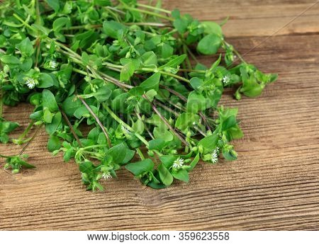 Chickweed, Stellaria Media, Wild Herb. Common Chickweed On Wooden Table, Focused On Front Flower.