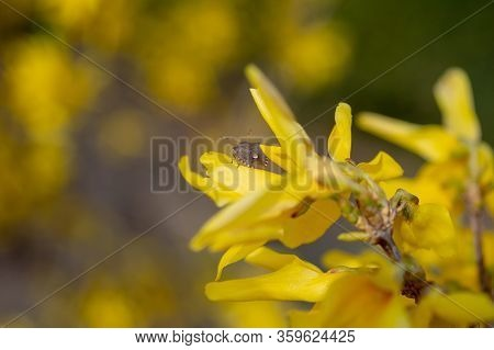 Brown Marmorated Stink Bug On Coreopsis Flower
