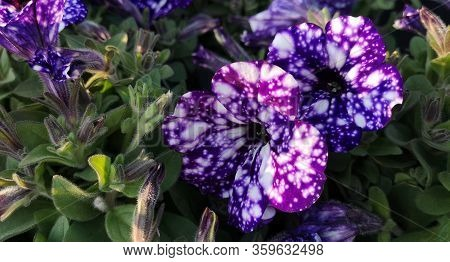 Close Up Of Two Large And Several Small Purple-blue And Violet Spotted Flowers Of Petunias Night Sky