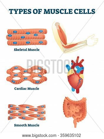 Types Of Muscle Cells Vector Illustration. Labeled Various Soft Tissues Differences Explanation. Edu
