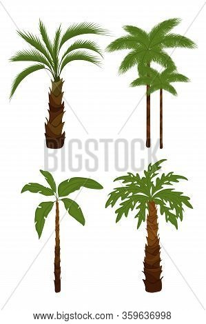 Coconut Palm Tree (cocos Nucifera). Miami Trees, Coconut Palm Or Exotic Hawaii Forest