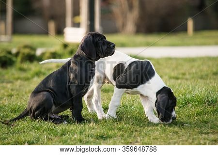 Puppy Great Dane On The Grass Two
