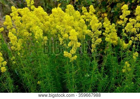 Blooming Field Of The Lady's Or Yellow Bedstraw (galium Verum)