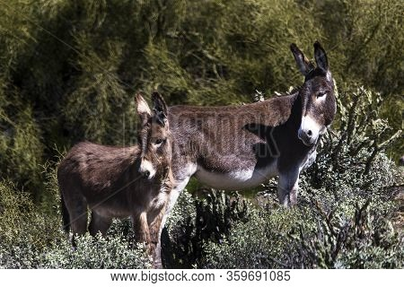 Wild Burros In The Sonoran Desert Near Phoenix, Arizona