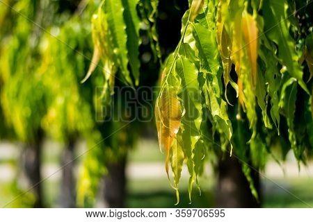 Polyalthia Longifolia (the Ashoka Native To India) Green Leaves On Tree.