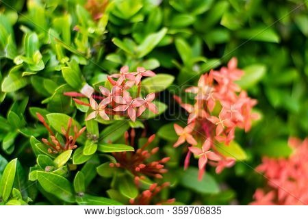 Beautiful Spike Flower Blooming, Red Flower Spike And Green Leaves.
