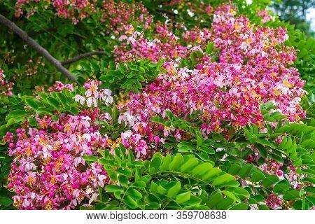 Pink Flower Of Wishing Tree, Pink Shower, Cassia Bakeriana Craib. Thailand.