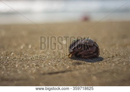Little Hermit Crab On Beach Sand Waves. Hermit Crab Hiding Inside Of Shell