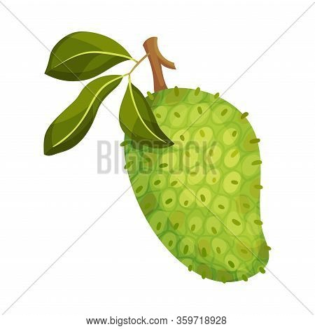 Guanabana Or Soursop Hanging On Leafy Tree Branch Vector Illustration