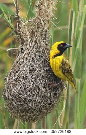 The Male Of Village Weaver (ploceus Cucullatus) Is Sitting On The Nest Weaved From Grass In Typical