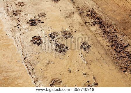 Lion Track In The Wet Desert. Tracks On The Wet Road.