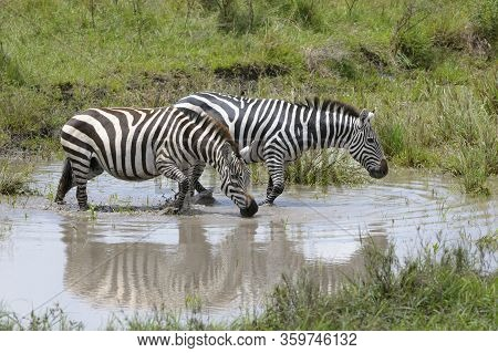 Plains Zebra (equus Burchellii) Drinking With Reflection And Standing In Water, Serengeti National P