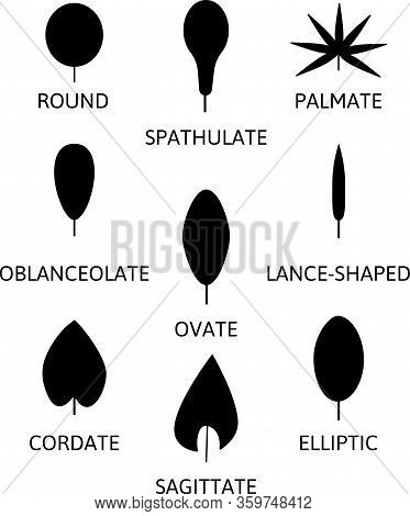 Different Leaf Shapes Lance-shaped, Ovate, Elliptic, Cordate, Round. Silhouette