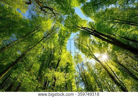 Majestic Upwards View To The Treetops In A Beech Forest With Fresh Green Foliage, Sun Rays And Clear