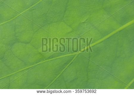 Sacred Lotus Leaf Detail - Latin Name - Nelumbo Nucifera