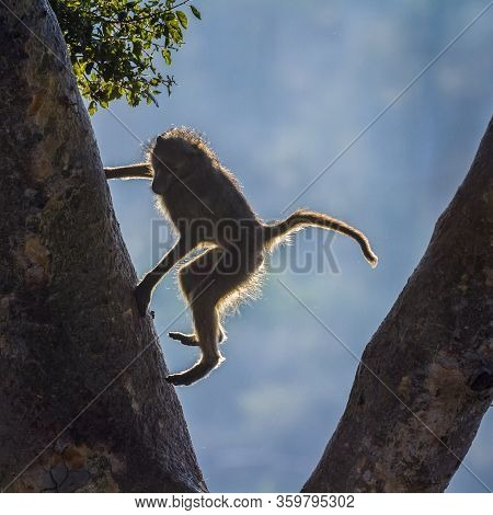 Chacma Baboon Jumping Down A Tree In Kruger National Park, South Africa ; Specie Papio Ursinus Famil