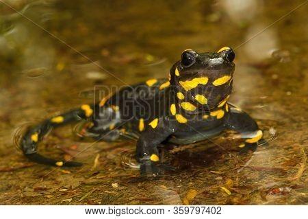 Portrait Of   Poisoned Fire Salamander  Salamandra Salamandra