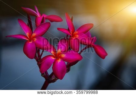 Plumeria Flower Red, Plumeria Flower, Colorful Spring Flower With Sunrise