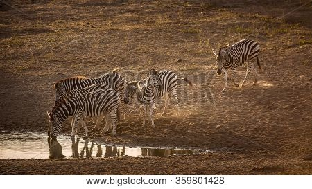 Small Group Of Plains Zebras Drinking In Waterhole At Dawn In Kruger National Park, South Africa ; S