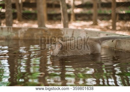 A Monkey Swims In A Swimming Pool At The Monkey Park In Ubud. Monkeys In Their Natural Habitat. Monk