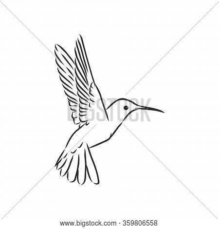 Flying Bird Hummingbird, Vector Sketch Illustration Hand Drawn