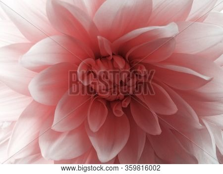 In Full Bloom. Delicate Pink Pastel Dahlia Flower Close-up. Macro Shot Of Botany, Top View. Flower C