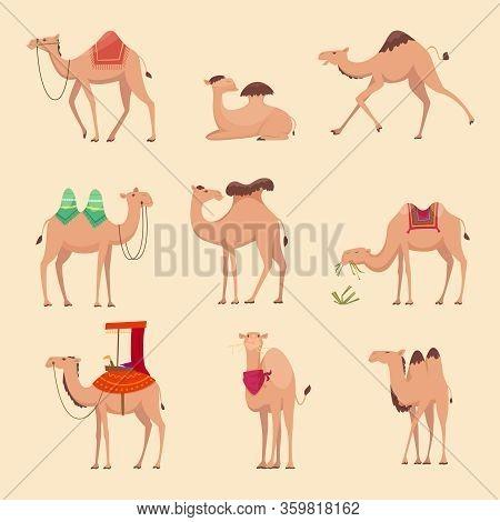 Desert Camels. African Funny Animals For Travelling Across Africa Or Egypt Vector Pictures. Camel Af
