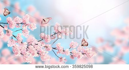 Horizontal banner with sakura flowers of pink color and three butterflies on sunny backdrop. Beautiful nature spring background with a branch of blooming sakura. Copy space for text