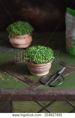Close-up Of Alfalfa Microgreens. Sprouting Microgreens. Seed Germination At Home. Vegan And Healthy